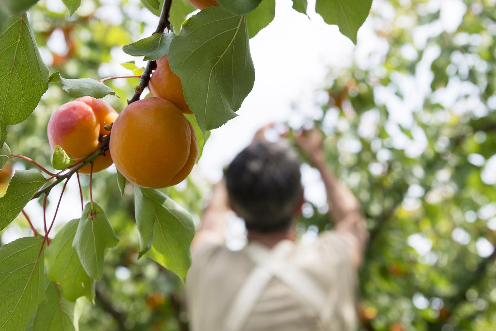 reportage agricole abricot