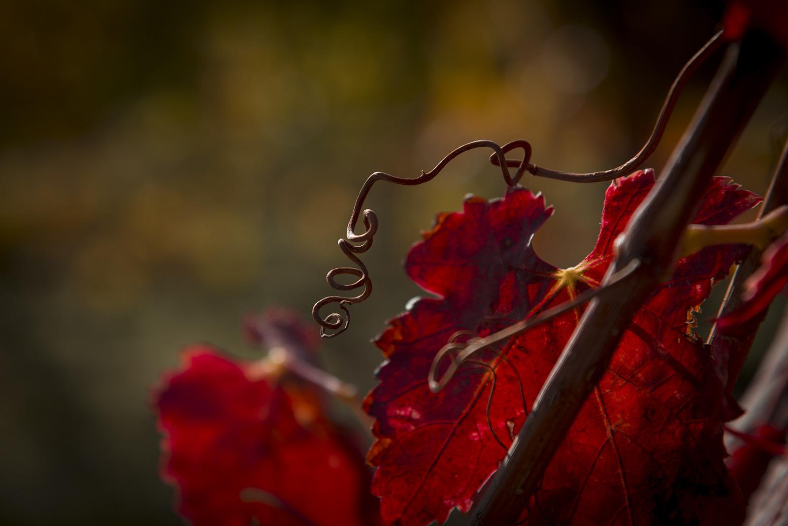 feuille de vigne à l'automne
