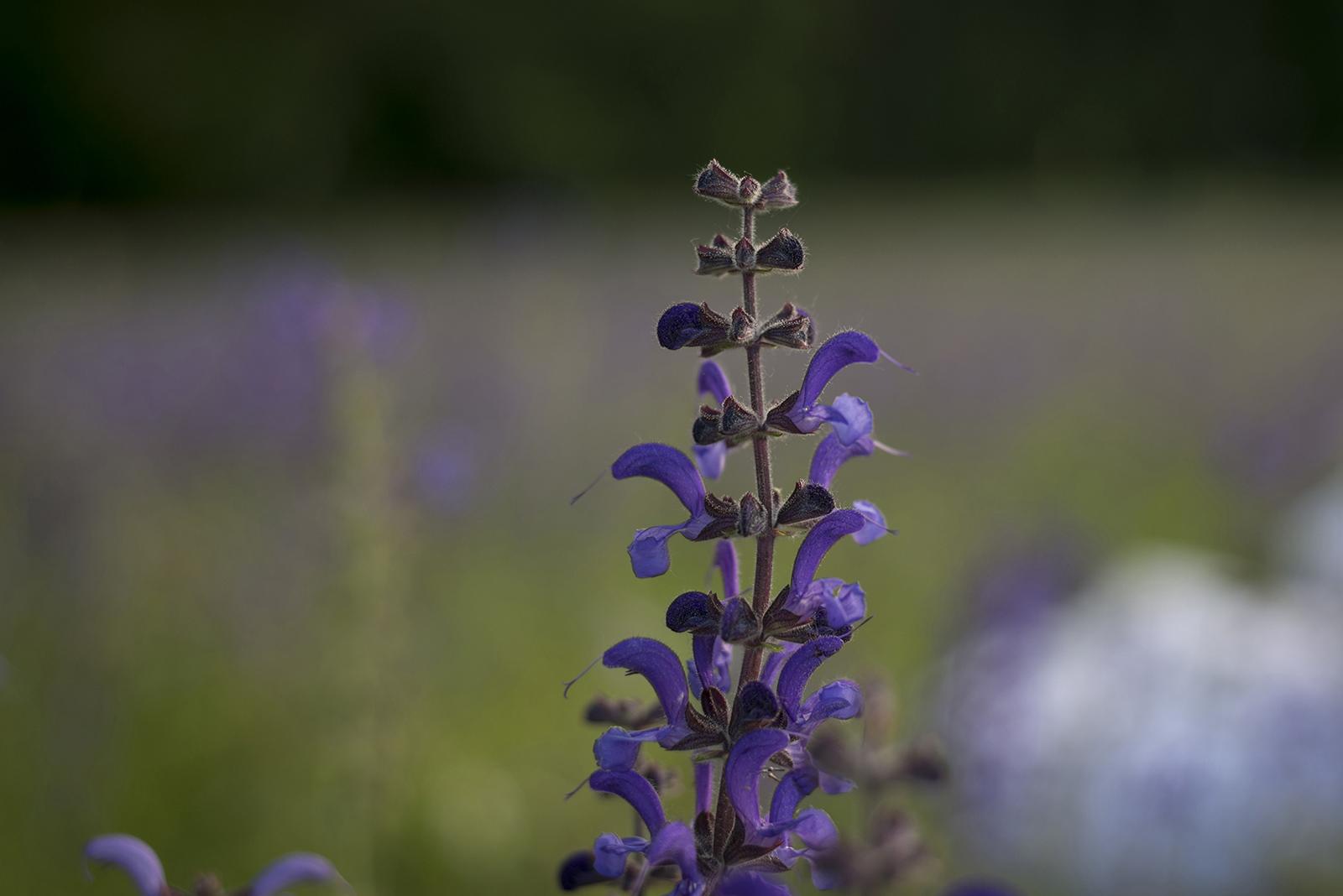 fleur des champs violettes